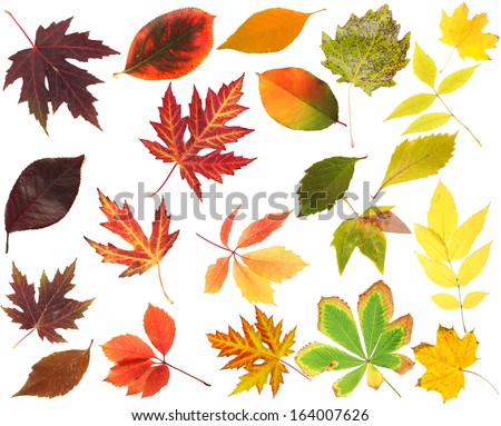 Collection of beautiful colored autumn leaves isolated on white - stock photo