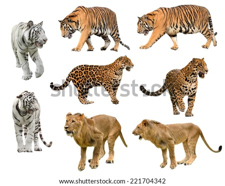 collection of  big cat (panthera) isolated on white background - stock photo