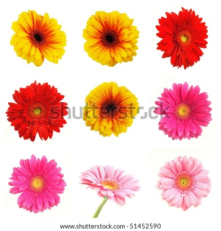 Collection of colored gerberas blossoms isolated on white background