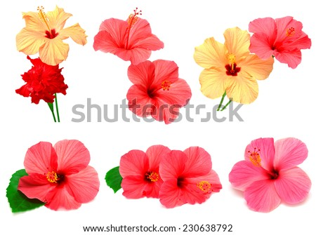 Collection of colored hibiscus with leaves isolated on white background - stock photo