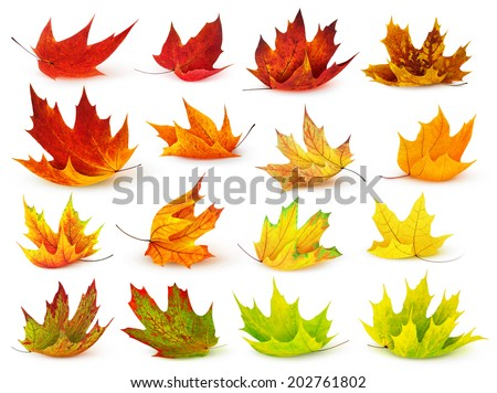 Collection of colorful autumn maple leaves isolated on white - stock photo