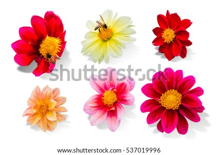 collection of dahlia flower isolated on white background, File contains a clipping path.