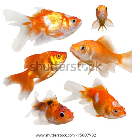 Collection of goldfish.  On clean white background. - stock photo