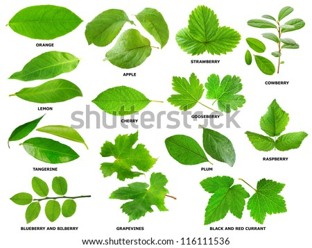 Collection of green leaves of fruit and berry shrubs and trees - stock photo