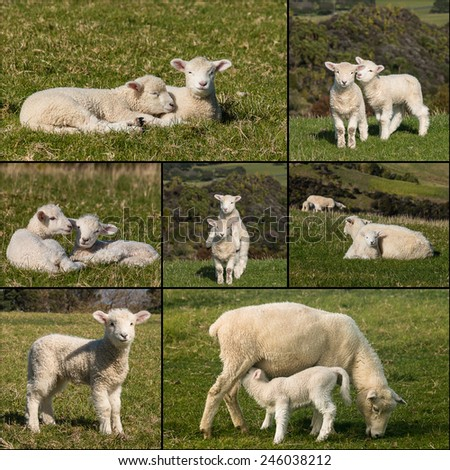 collection of newborn lambs. lambs collection. resting lambs. ewe feeding lamb. playful lambs. sheep with lamb. - stock photo