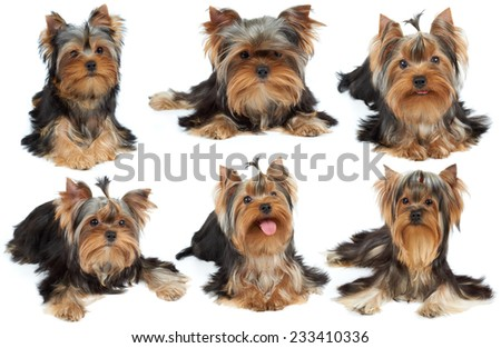 Collection of six cute Yorkshire Terriers over white - stock photo