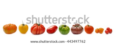 collection of tomatoes aligned and isolated on white background - stock photo