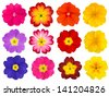 Collection of twelve colorful Primroses Isolated on White Background. Selection of the cute looking red, orange, yellow, pink, blue primrose flower - stock photo