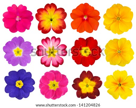 Collection of twelve colorful Primroses Isolated on White Background. Selection of the cute looking red, orange, yellow, pink, blue primrose flower