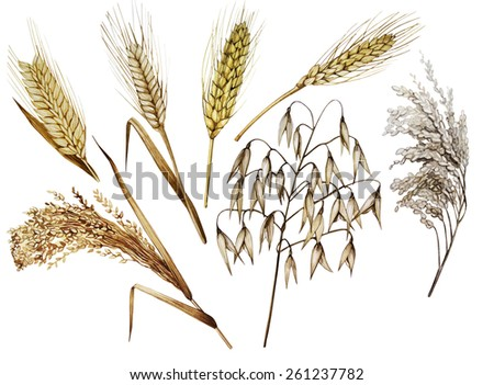 Collection of watercolor cereals. Wheat, millet, barley, rye, oats and rice isolated on white background - stock photo