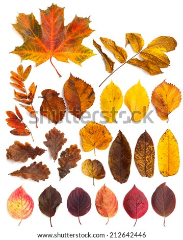Collection set of  beautiful autumn leaves isolated on white background - stock photo