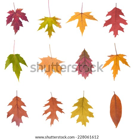 collection set of beautiful colored autumn leaves close up isolated on white background - stock photo