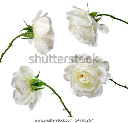 Collection set of beautiful white roses isolated on a white background - stock photo