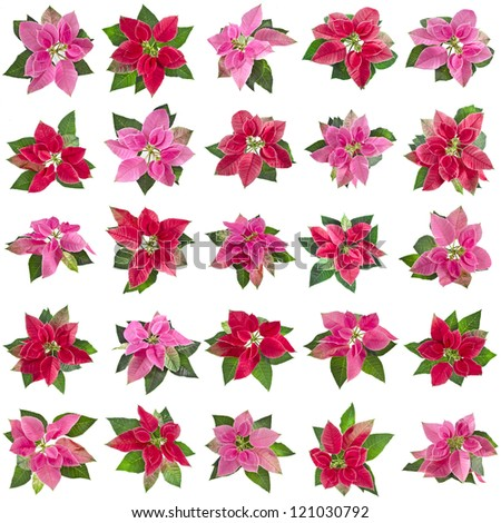 collection set of christmas flower poinsettia isolated on a white background - stock photo