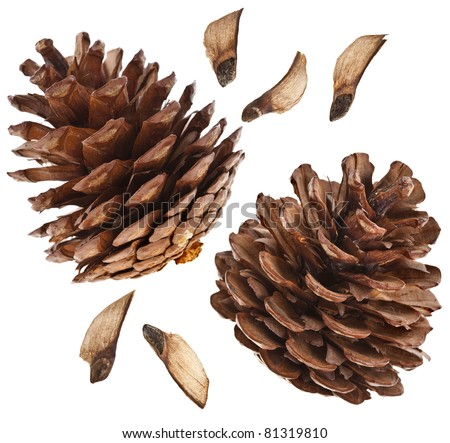 collection set  of fir cones with seed isolated on white background - stock photo