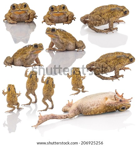 Collection set of Golden color skin and orange neck toad on White background and isolated. Toads are associated with drier skin and more terrestrial habitats than animals commonly called frogs - stock photo