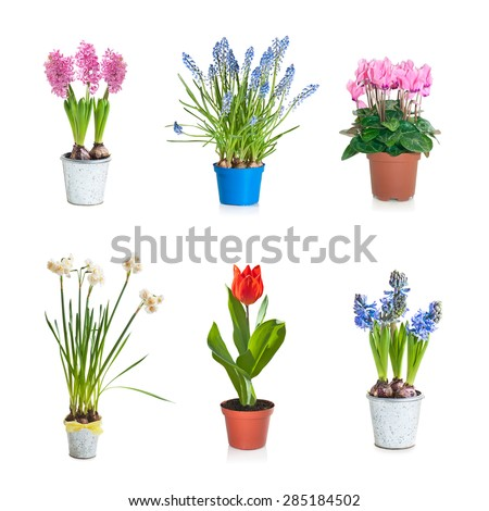 Collection set of Spring blooming plant in flower pot, isolated on white - stock photo