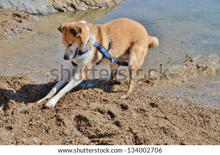 Collie and Yellow Labrador Mixed Breed Dog Digging a Stick at Lake Shore - stock photo