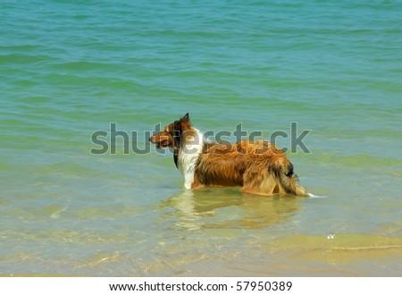 collie Dog on Beach - stock photo