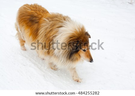 Collie dog walking in snow