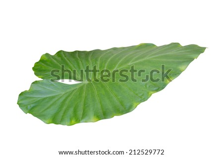 Colocasia esculenta Plant green leaf, taro leaf isolated  - stock photo