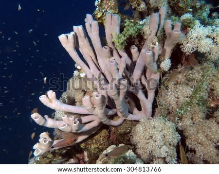 Colonial tube sponge (Porifera) on coral reef - stock photo