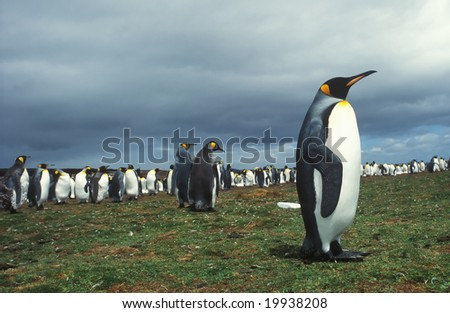 Colony king penguins in Falkland islands