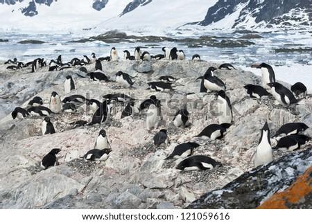 Colony of Adelie penguins (Pygoscelis adeliae). - stock photo