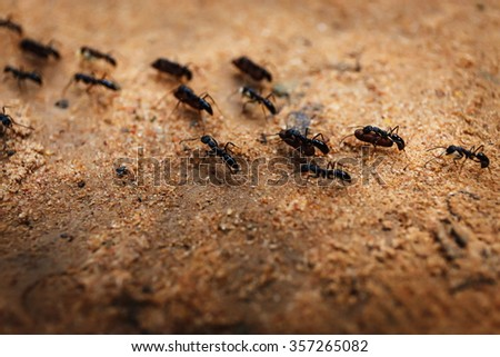 Colony of ants and their teamwork in Cambodia  - stock photo