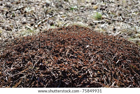 Colony of ants in a spring. - stock photo