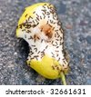 Colony of ants swarming pear on sidewalk - stock photo