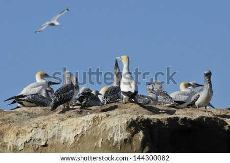 colony of australasian gannet