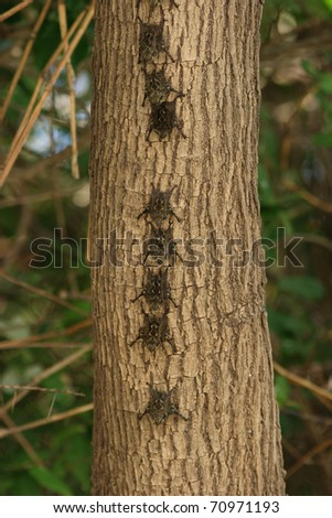 Colony of Brazilian Long-nosed Bats (Rhynchonycteris naso) roosting in a tree  - Palo Verde, Costa Rica - stock photo