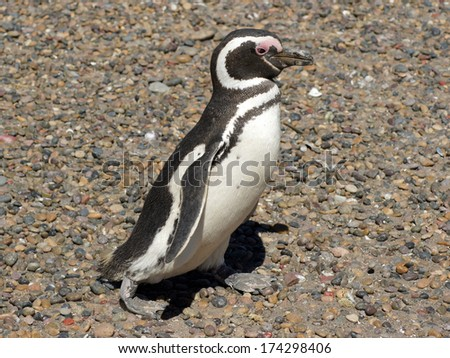 Colony of Magellanic Penguins, Punta Tombo, Argentina, South America