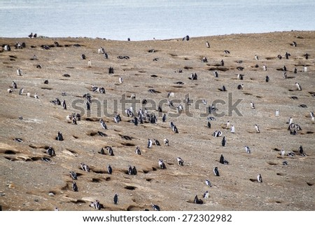 Colony of Magellanic Penguins (Spheniscus magellanicus) on Isla Magdalena in the Strait of Magellan, Chile. - stock photo