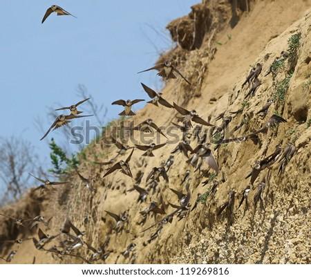 Colony of swallows,  Sand Martin breeding colony (riparia riparia) - stock photo