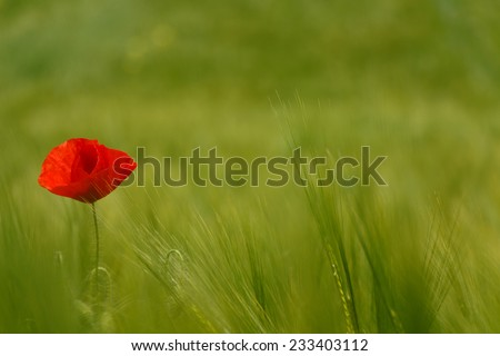 color contrast between poppy and green field with a lot of copy space - stock photo