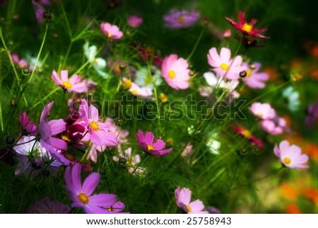 color daisy - stock photo