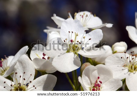 Color DSLR image of white flowers on a Flowering Pear tree. Blooms are light in full spring sunshine. Horizontal orientation with copy space for text. - stock photo