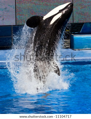 Color DSLR picture of a Killer Whale jumping out of a pool.  The orca is black and white, the water is blue and streaming from him.  The image is in vertical orientation with copy space for text. - stock photo