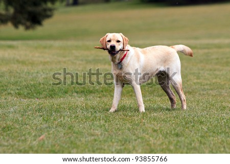 Color DSLR picture of pure bred yellow labrador retriever in a green grass field, playing fetch with a stick.  Horizontal orientation with copy space for text - stock photo