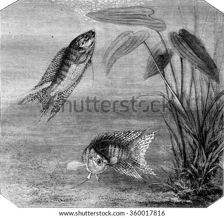 Color fish, Paradise fish, vintage engraved illustration. Magasin Pittoresque 1870. - stock photo