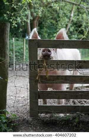 Color image of a pig eating hay at a gate taken on a farm. This is an adult pig. It's snout is peaking through the fence. - stock photo