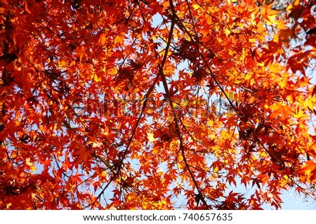 https://thumb9.shutterstock.com/display_pic_with_logo/167494286/740657635/stock-photo-color-leaves-in-japan-740657635.jpg