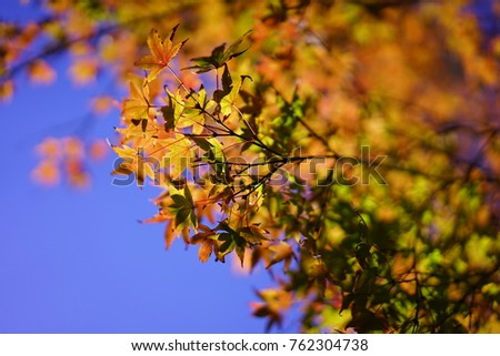 https://thumb9.shutterstock.com/display_pic_with_logo/167494286/762304738/stock-photo-color-leaves-in-japan-762304738.jpg