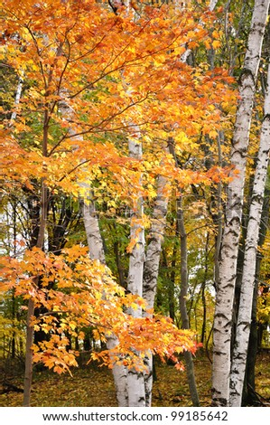 Color Maple Leaves and Birch Trees in the Fall