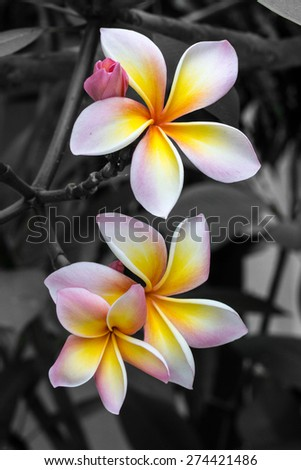 Color of nature - 3 White, Yellow, and Pink (3 Plumeria in black and white background) front view - stock photo