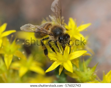 Color photo of bees on a yellow flower. Image close-up