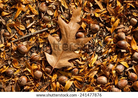 Color picture of acorn in a park - stock photo
