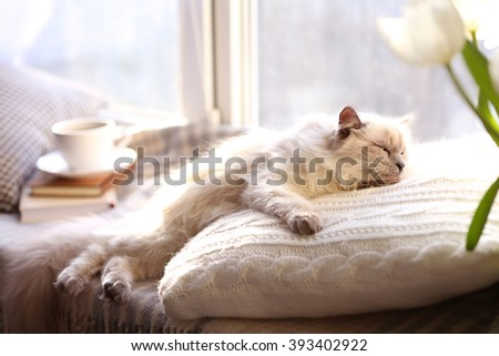Color-point cat lying on pillow near the window in living room - stock photo